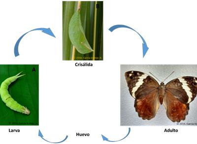 Insectos Asociados al Cultivo de Plátano