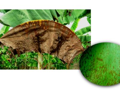 Manejo de Enfermedades en el Cultivo de Plátano