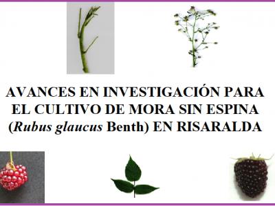 AVANCES EN INVESTIGACIÓN PARA EL CULTIVO DE MORA SIN ESPINA (Rubus glaucus Benth) EN RISARALDA